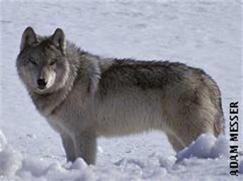 difference between wolf and difference between coyote and wolf quotes