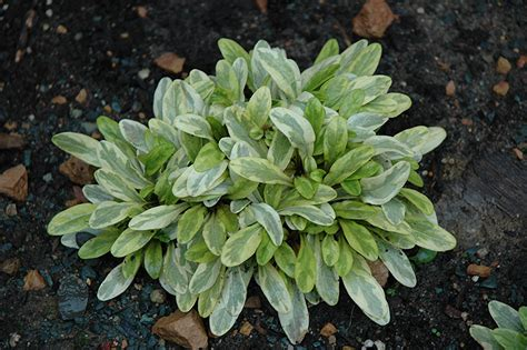 toffee chip bugleweed ajuga reptans toffee chip