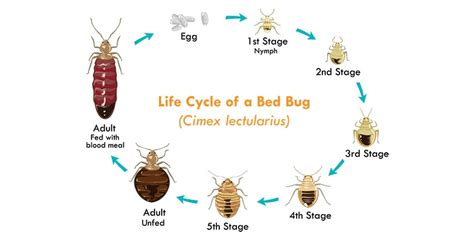 life cycle of bed bugs the life cycle of bed bugs allergy air