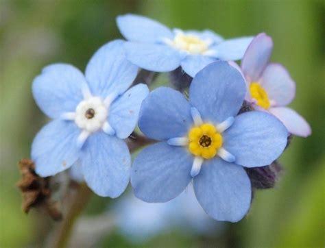 imagenes flores no me olvides nomeolvides azules im 225 genes y fotos
