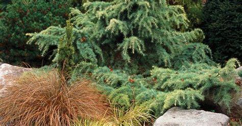 twisted conifer plant garden zen pinterest plants gardens and garden ideas