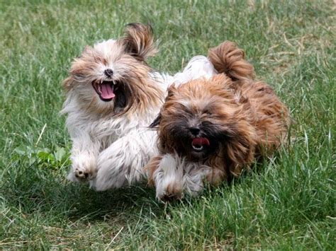 what is the average weight of a shih tzu average weight of shih tzu 1001doggy