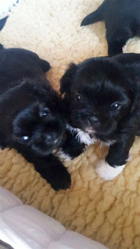 shih tzu puppies for sale in liverpool beautiful shih tzu puppies for sale liverpool merseyside pets4homes