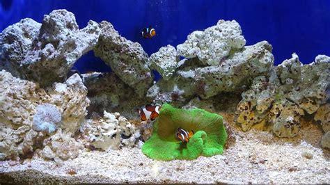 anemone finding nemo finding nemo real clown fish in a sea anemone youtube