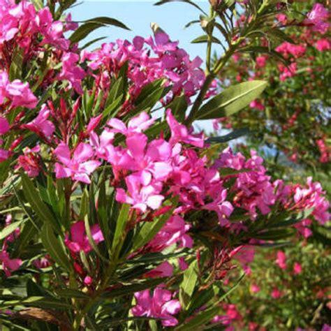 fiori oleandro coltivazione oleandro