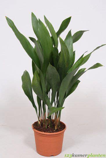 aspidistra elatior aspidistra elatior ruscaceae g kukoricalev 233 l k 193 zsia hola t 233 li n 246 v 233 nyismereti pinterest