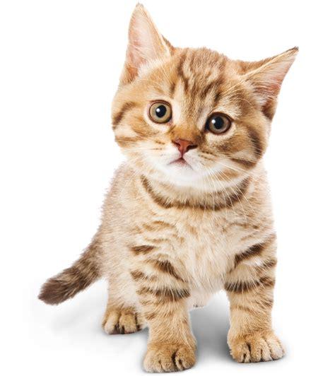 gambar harimau format png bahan edit foto format png binatang