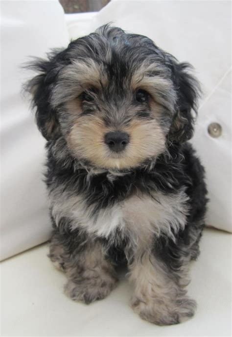 grown yorkie pictures pin size yorkie poo pictures on