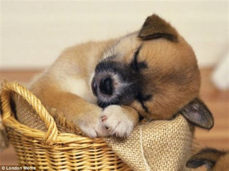 pictures of puppies sleeping pictures of sleeping dogs tiny puppies catching 40 winks daily mail