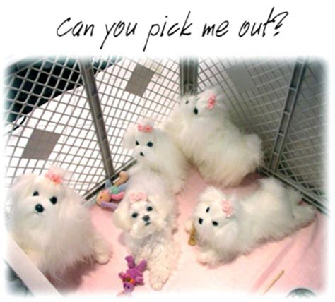 shih tzu puppies how big do they get how big do maltese dogs get breeds picture