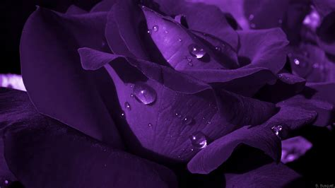 Pictures Of Purple Roses
