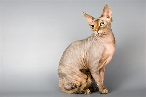 Contract/Payment   Sphynx Cats NY   Sphynx Kittens for