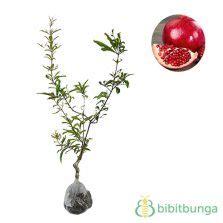Benih Buah Delima Hitam tanaman delima hitam black pomegranate