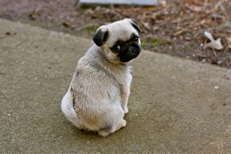 looking pugs adorable pug puppy about pug