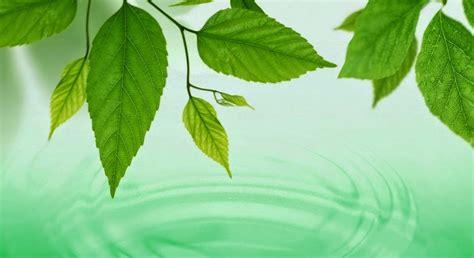 hojas de hierba la hoja de la planta limbo y pec 237 olo biolog 237 a
