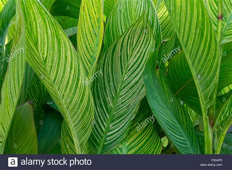 Garden Decoration Leaves by A Bunch Of Cana Leaves For Home Decoration Garden