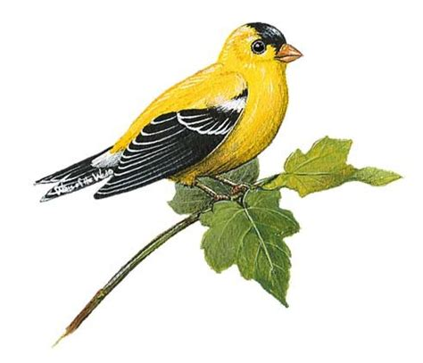 Peel Off Wall Stickers goldfinch bird peel and stick wall decal
