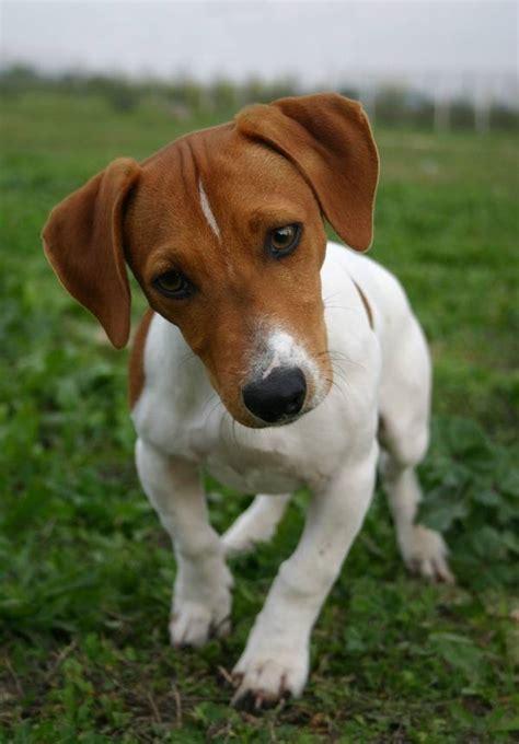 russel in appartamento russel cani taglia piccola caratteristiche