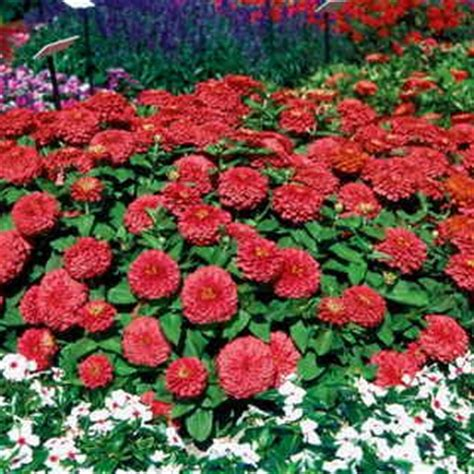 Johnsons Seeds Zinnia Sprite Mixed zinnia pumila sprite mixed colors images frompo 1