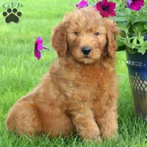 goldendoodle puppies for sale in pa goldendoodle puppies for sale in pa greenfield puppies
