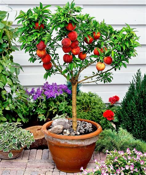 patio fruit trees in containers best fruits to grow in pots fruits for containers