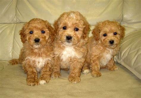 bichon poo puppies bichon poo puppies in toronto ontario for sale breeds picture