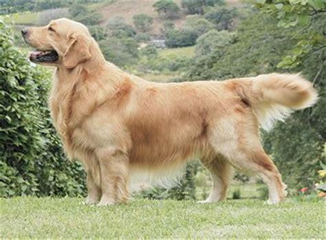 american golden retriever puppies dogs pets american golden retriever