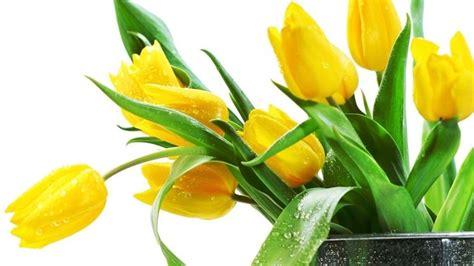 significato dei fiori gialli tulipani gialli significato fiori tulipani gialli