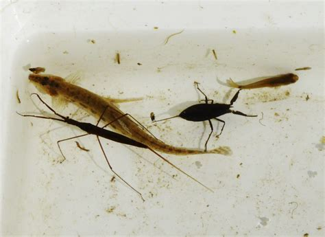 Spined Loach, Water Scorpion & Water Stick Insect BCooke