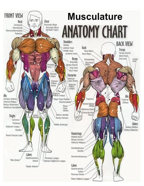 diagram of chest muscles chest diagram anatomy chest muscles
