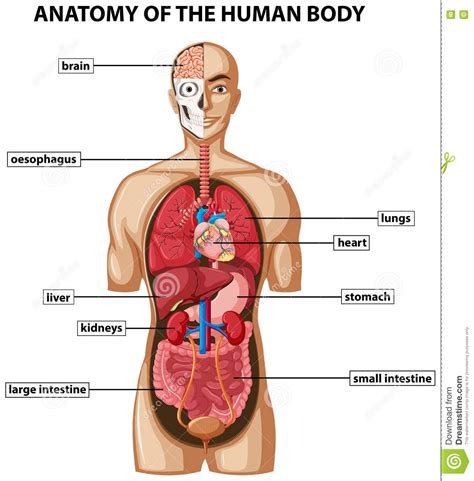 diagram of human diagram showing anatomy of human with names stock v