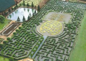 Lavender Labyrinth dole plantation one of the most popular attractions in