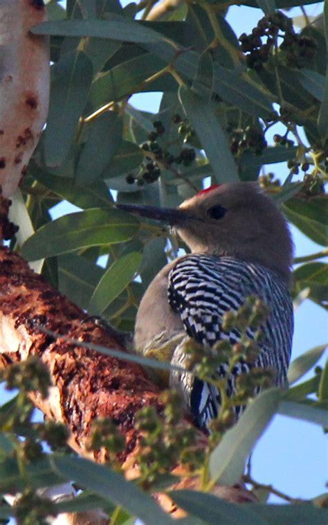 wwwwild bird photocom3gp birds images gila woodpecker hd wallpaper and background photos 21617071