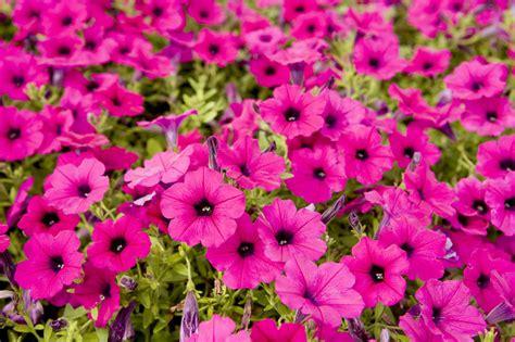 Bright Garden Flowers Closeup Of Bright Pink Garden Flowers By Tim Laman
