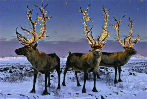 christmas reindeer christmas 2008 christmas photo