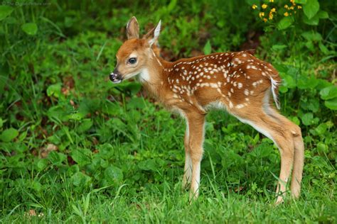 White tailed Deer Fawn, Shenandoah National Park