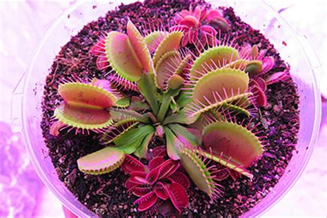 venus fly trap care basic guide  tips  growing