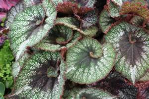 Tropical Foliage House Plants Care - beguiled by begonias the frustrated gardener