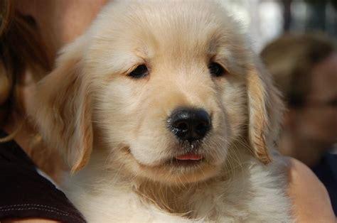 puppy names for golden retrievers 1000 ideas about golden retriever names on australian shepherd names golden