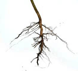 roots and root structure