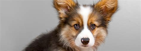 pet stores that sell puppies near me pet store puppies for sale near me pets world