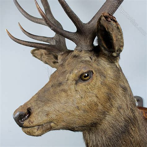 antiques atlas taxidermied royal stags head