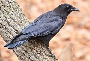 inbreeding in the american crow all about birds