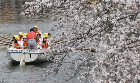 row your boat japanese the stunning cherry blossom canopy which means spring has