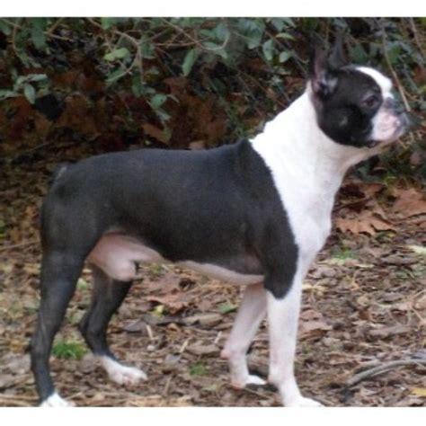 free puppies in tn bestbostonterrierpuppies boston terrier breeder in knoxville tennessee