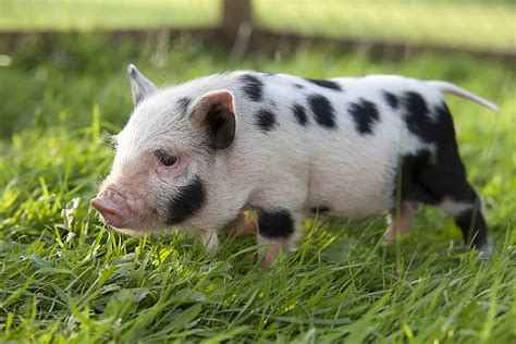 micro pigs for sale uk miniature pig