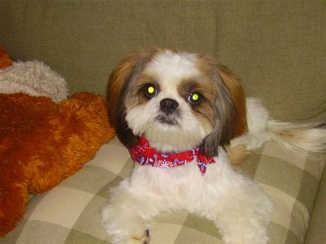 my shih tzu has bad breath pooch pics 2