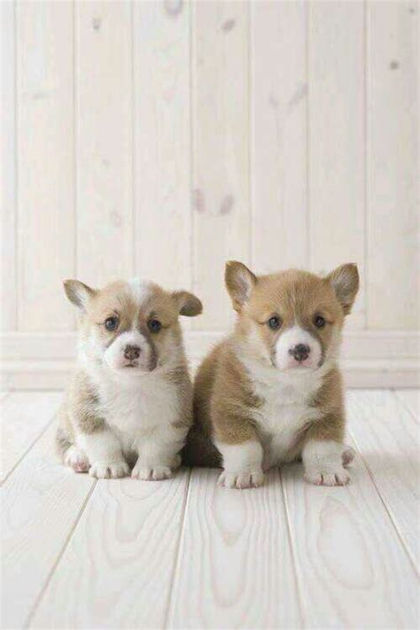 baby corgi puppies baby corgi puppies