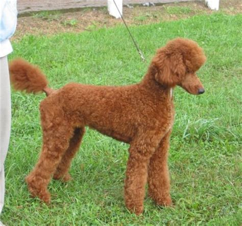 poodle with plain hair cut poodle with plain hair cut red standard poodle poodles