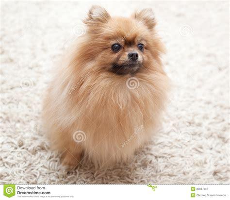 chien pomeranian chien pelucheux de pomeranian se reposant sur un tapis beige photographie stock libre